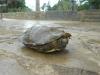 thumbs photo 2015 02 18 13 03 30 Extracción de fauna en el Llac del Parc de la Ciutadella