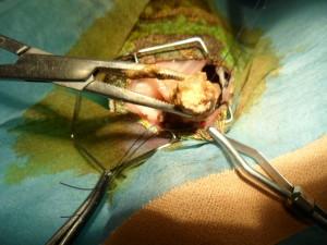 cam6 300x225 Impactación colónica en Chamaeleo Calyptratus. Resolución quirúrgica.