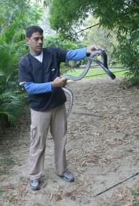 Clelia clelia 203x300 Ponencia de Luis Merlo Miranda en la I Jornada de Herpetos Venenosos – El manejo de las serpientes venenosas del terrario Ecopets, las especies y algunos casos clínicos.