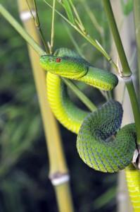 popeia sabahi 199x300 Ponencia de Jairo Cuevas Lopez en la I Jornada de Herpetos Venenosos – Búsqueda, Identificación y Experiencias con Serpientes Venenosas en la Jungla de Borneo.