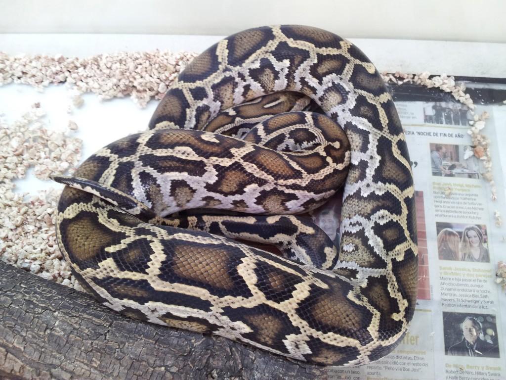 IMG 20120531 114348 1024x768 Python molurus para adoptar