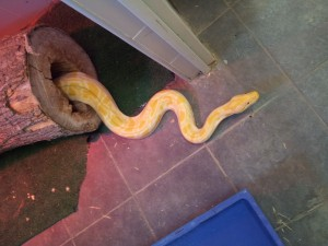 IMG 20120531 114651 300x225 Python molurus albina 1