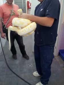 IMG 20120531 114733 e1338476695482 225x300 Python molurus albina 2