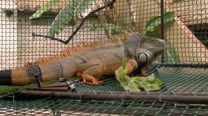 01072011009 300x168 Iguana iguana macho en adopción