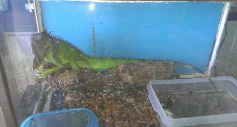 iguana Iguana en adopción