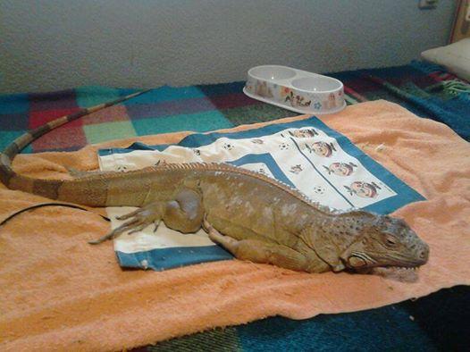 10384759 10201280702498724 8152528459217548360 n Iguana hembra en adopción