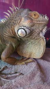 iguana 169x300 iguana