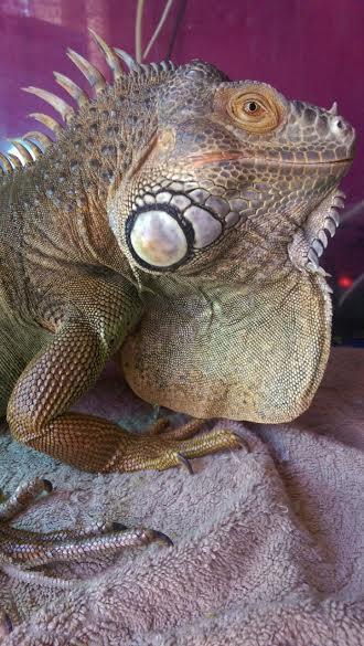 iguana Iguana macho en adopción