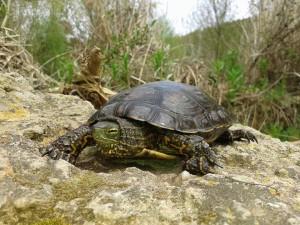 leprosa 300x225 Cambios en el Código Penal que afectan a los reptiles y anfibios españoles