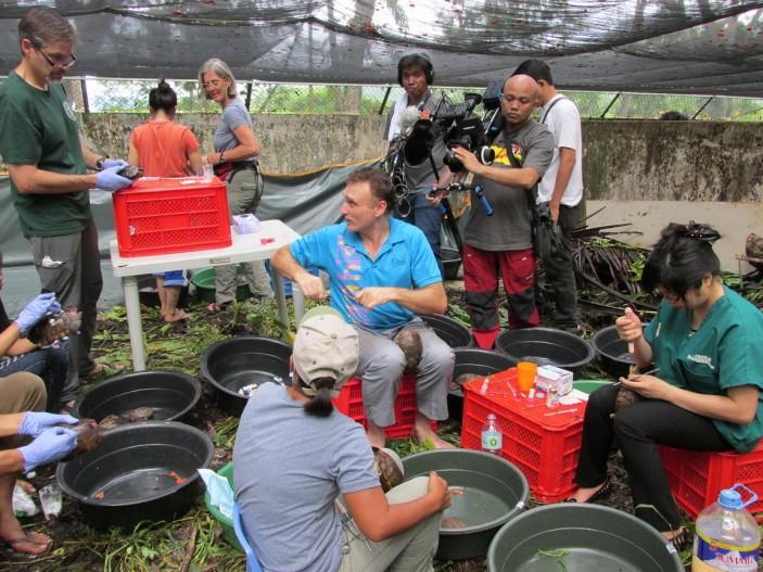 Los equipos veterinarios examinando cada tortuga 703x527 Avances en Palawan